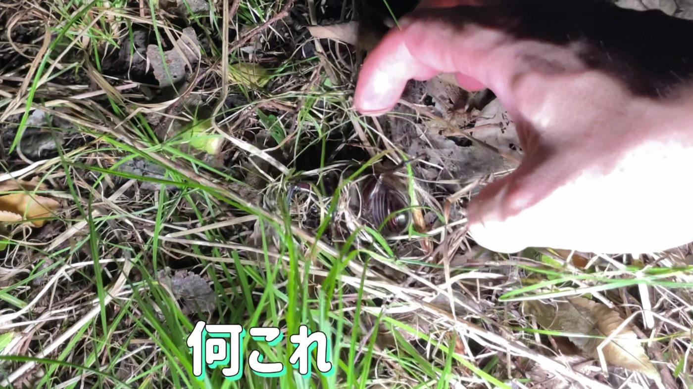 """<span class=""""title"""">藁藁藁でぐるぐるになったカブトムシ、なんでこうなった?</span>"""